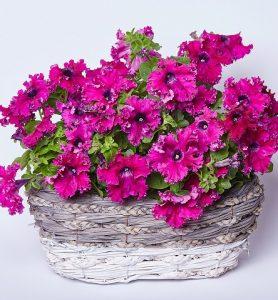 petunia afrodita purple