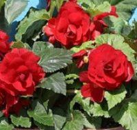 Stambiažiedės begonijos Dark Red