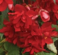 Gumbinės begonijos Chanson Deep Red